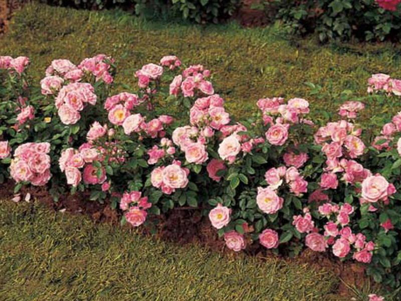 miniatiurnie-rozi-1
