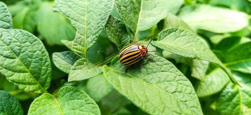 препарат от колорадского жука