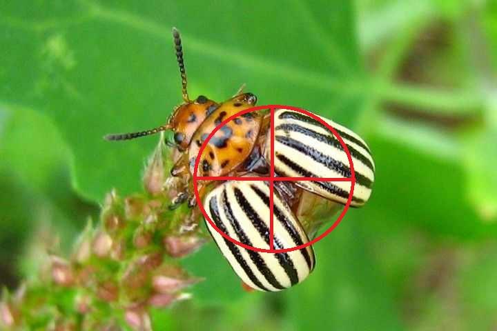 Растения-репелленты от колорадского жука