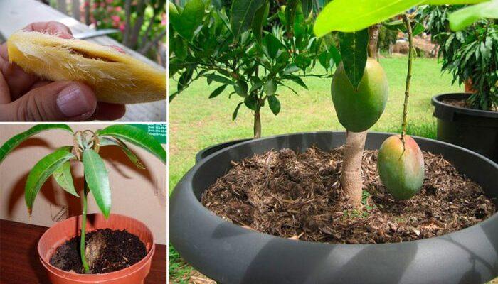 Як правильно і швидко виростити манго з кісточки в домашніх умовах