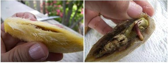 як дістати кісточку манго